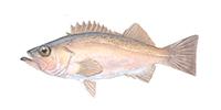 Bocaccio Rockfish ©Abachar.com