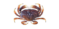 Dungeness Crab ©Abachar.com