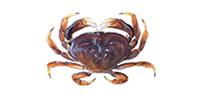 Dungeness Crab ©Abachar.com
