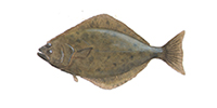 Pacific Halibut ©Abachar.com