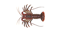 California Spiny Lobster ©Abachar.com
