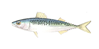 Pacific Mackerel ©Abachar.com