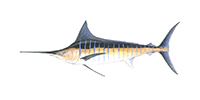 Striped Marlin ©Abachar.com