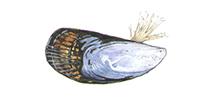 Mussel ©Abachar.com