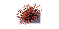 Red Sea Urchin ©Abachar.com