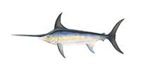 Swordfish ©Abachar.com