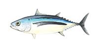 Tuna Albacore ©Abachar.com